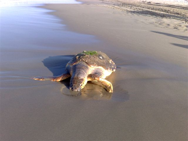 Tartaruga spiaggiata a lido di camaiore news viareggino - Bagno imperiale lido di camaiore ...