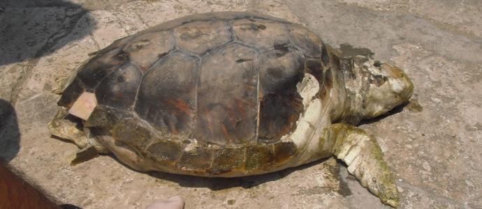 Trovata tartaruga di 35 centimetri spiaggiata news - Bagno pinocchio viareggio ...